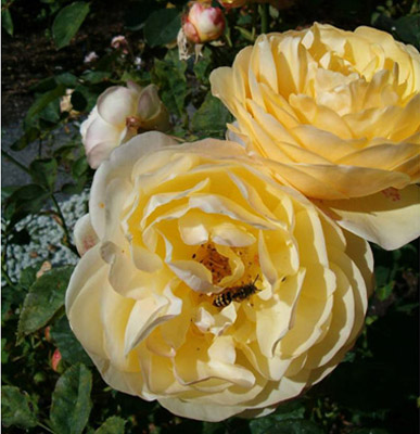 Rose Garden Hatley Castle